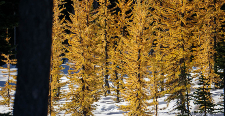 Larch trees on Mount Frosty in Manning Park, BC - Photo: Adrian Burden