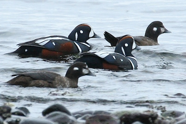 Skagit Valley Bird Blitz Harlequin Ducks