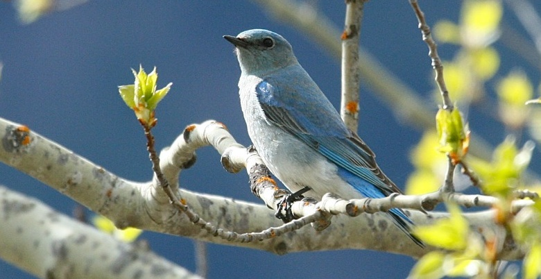 Mountain Bluebird at Ross Lake
