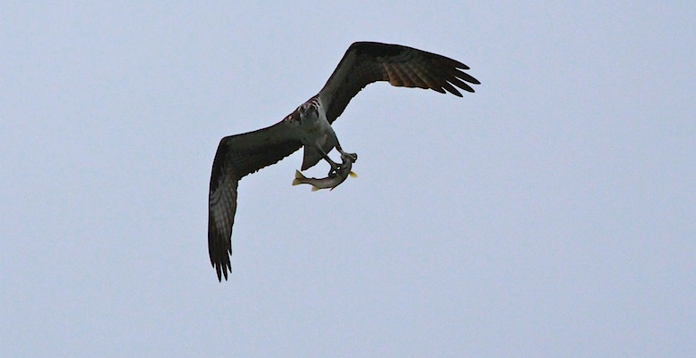 Osprey at Manning Park Bird Blitz