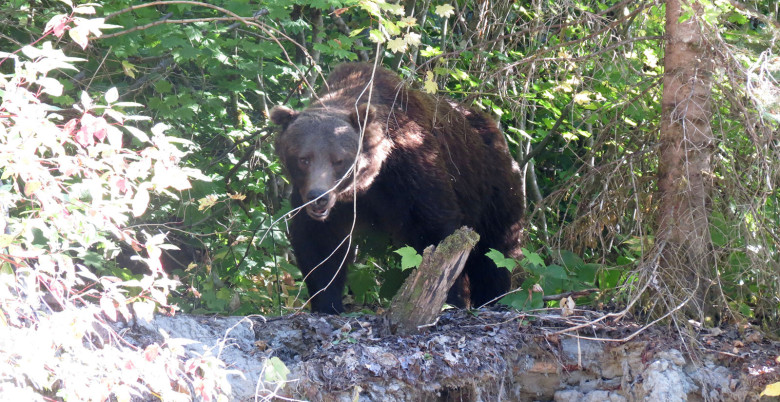 Grizzly Bear Sightings Hope BC