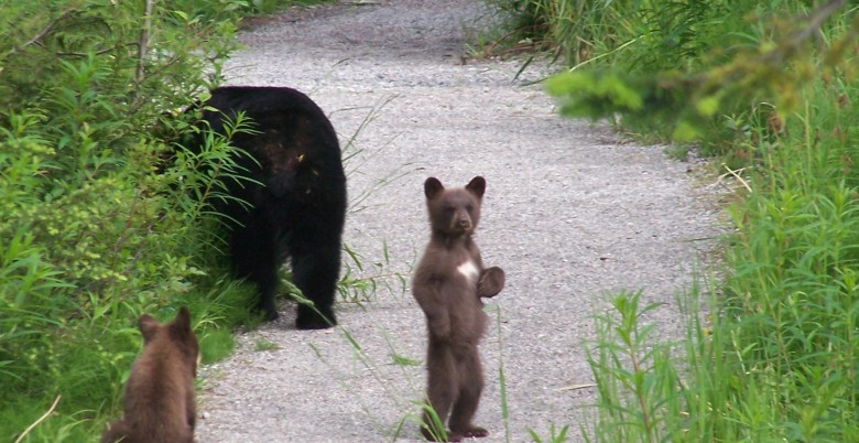 Hope Mountain Black Bear Committee